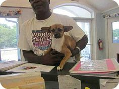 Easton, MD - Parson Russell Terrier/Pomeranian Mix. Meet MILLIE, a dog for adoption. http://www.adoptapet.com/pet/10879420-easton-maryland-parson-russell-terrier-mix