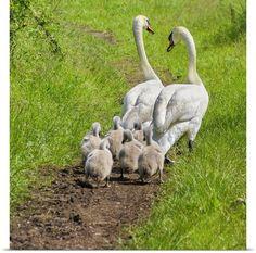 Beautiful Swan, Beautiful Birds, Animals Beautiful, Beautiful Family, Farm Animals, Animals And Pets, Cute Animals, Cygnus Olor, Mundo Animal