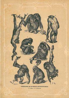 1883 Primate Drawings Antique Engraving  Monkeys Print Brehms Tierleben. LOVE LOVE LOVE