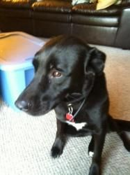 Ebony is an adoptable Labrador Retriever Dog in Romulus, MI. THIS IS A COURTESY POST*** She is NOT at RAS Sweet, sweet Ebony is looking for a new forever home. Ebony is Boxer Lab mix, and because of h...