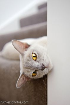 Casper the Lilac Burmese (ruthless photos)