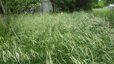 GENIO Italiano Giuseppe Cotellessa: UK team harvests hydrogen from grass. / Nel Regno ...