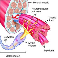 National Holistic Institute School of Massage Therapy Study Biology, Biology Lessons, Muscle Anatomy, Body Anatomy, Motor Neuron, Biology Classroom, Homo, Medicine Student, Nursing School Notes