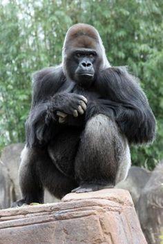 Endangered Rainforest Animals, Gorilla