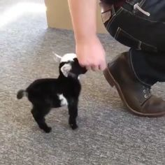 A tiny goat Cute Animal Videos, Cute Animal Pictures, Funny Pictures, Cute Little Animals, Cute Funny Animals, Cute Goats, Baby Goats, Tier Fotos, Cute Creatures
