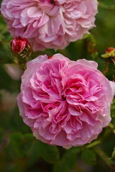 Rosa 'Tähtitorninkatu'