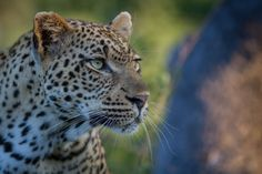 The Tamboti female has featured prominently this week. A particularly beautiful example of what is a particularly beautiful species, she is ...
