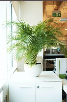 "Wanting to add a tropical vibe to your home; nothing beats a Palm Plant. Especially, an Areca Palm; these plants look gracefully elegant in their feather-like leaves. Another bonus with them is ""they purify the air in your surroundings, by removing chemical toxins from the air."" Enquire about our vast collection of Indoor Plants, by mailing us at info@uniflora.ae or call us on 04-321-6545 for queries #Uniflora #Indoor #Plants #home #decor #plant #decor #Dubai #UAE"
