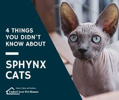 One of the most striking cat breeds, Sphynx cats are warm, affectionate, and inquisitive cats. Where did these cats come from? Are they a good choice for people allergic to cats? Read on to learn 4 things you didn't know about sphynx cats. Pet Websites, Flea Shampoo For Cats, Toxic Plants For Cats, Allergic To Cats, Angora Cats, Cat Reading, Cats For Sale, Cat Care Tips, Pet Boutique