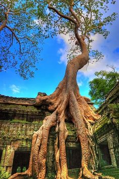 Trees grow from the Ta Prohm Temple ruins in Angkor, Cambodia