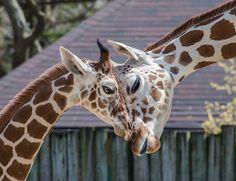 Brookfield Zoo Giraffes | Giraffe at Brookfield Zoo Brookfield IL by Meridith112