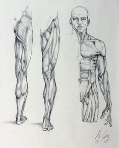 anatomy 01by ~andrewcox https://www.facebook.com/CharacterDesignReferences