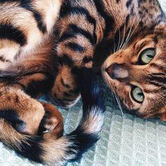 Chat de Bengal http://www.journaldequebec.com/2015/04/27/la-preuve-que-le-chat-de-bengal-est-le-meilleur-chat