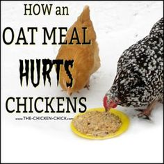 The Shocking Effect of Feeding an Oatmeal Breakfast on Chickens Hatching Chickens, Baby Chickens, Chickens Backyard, Backyard Farming, Best Egg Laying Chickens, Keeping Chickens, Raising Chickens, Chicken Pen, Chicken Chick