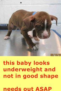 RESCUED --- CODE RED NOW!!! BONES (A1681252)I am a male brown and white American Pit Bull Terrier.  The shelter staff think I am about 9 weeks old and I weigh 6 pounds.  I was found as a stray and I may be available for adoption on 02/27/2015. — hier: Miami Dade County Animal Services. https://www.facebook.com/urgentdogsofmiami/photos/pb.191859757515102.-2207520000.1424468722./932060456828358/?type=3&theater