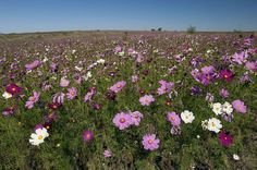 Meadow Garden, Free State, Kwazulu Natal, Life Is Beautiful, Cosmos, Wild Flowers, South Africa, Tourism, Weed