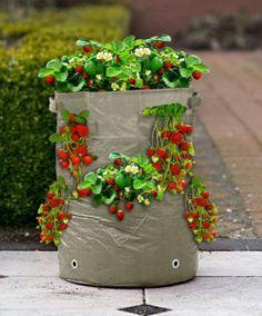 Az otthon termett szamóca gyakran nem jut el a konyháig - Kapanyél Vertical Vegetable Gardens, Vertical Garden Wall, Vegetable Garden Design, Strawberry Planters, Strawberry Garden, Tire Garden, Garden Soil, Container Plants, Container Gardening
