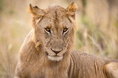 A young male lion in Tarangire National Park.