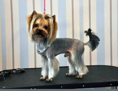 Choosing a grooming style for your Yorkshire Terrier? Take a look at these awesome Yorkie haircuts for your inspiration. Yorkie Poodle, Yorkie Puppy, Poodle Mix, Toy Poodles, Poodle Puppies, Lab Puppies, Yorkshire Terrier Dog, Yorkies, Yorkie Cuts