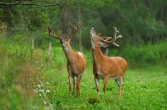 How Much Do You Know About Whitetail Deer Behavior, Patterns