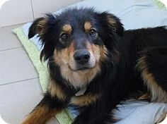 COOKEVILLE, TN -- Meet GEMMA! :)  She's a 1.5 year old English Shepherd Mix who's looking for her forever home. She's super loving, spayed, up to date on all shots, AND she's house broken! For more info on Gemma please visit the page below.  http://www.adoptapet.com/pet/15228311-cookeville-tennessee-english-shepherd-mixF