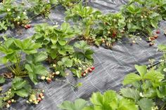 Field of strawberries with mulch