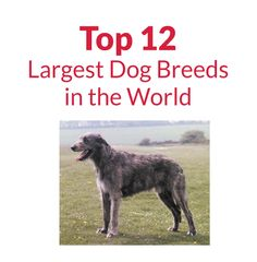 Top 12 Largest Dog Breeds in the World