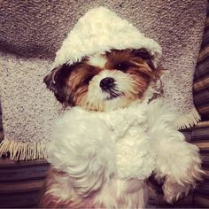 Adorable Little Shih Tzu Dog in a Hat