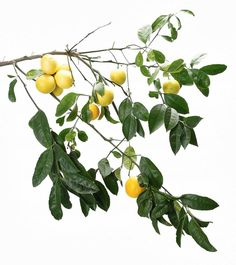 How to Grow a Meyer Lemon Tree by sfgate: With little attention, this citrus rewards home gardeners and even indoor growers with a year-round bounty.  #Gardens #Meyer_Lemon