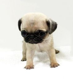Oh My God. Cute Pug Puppy