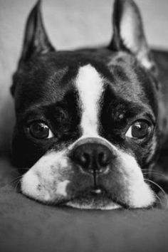 Boston terrier puppy - the faces!