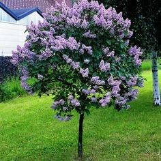 Landscaping trees and shrubs lilac bushes 19 best ideas Landscaping Trees, Front Yard Landscaping, Outdoor Landscaping, Landscaping Borders, Inexpensive Landscaping, Natural Landscaping, Tropical Landscaping, Trees And Shrubs, Flowering Trees