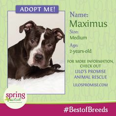 Meet Maximus! This handsome boy loves walks and snuggle time! Max is good with other dogs and is ready to be a new friend!  Please contact Lilo's Promise Animal Rescue for more information!