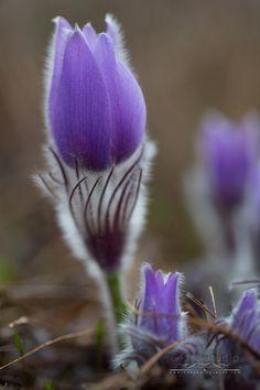 Leánykökörcsin #tavaszivirág #természetfotózás #lila #purple #green #zöld