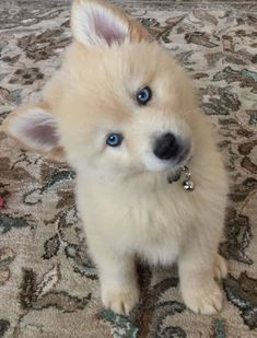 Cute Husky Puppies, Pomsky Puppies, Super Cute Puppies, Cute Little Puppies, Cute Little Animals, Cute Funny Animals, Cute Cats, Pomeranian Husky, Small Puppies