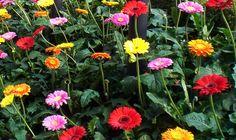 """Cara Budidaya Tanaman Hias Bunga Gerbera """" Bernilai Ekonomi """" - http://www.ruangtani.com/cara-budidaya-bunga-gerbera/"""