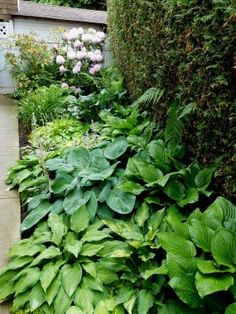 Hostas in a tight space. Love it for filler and getting rid of a bare, awkward space