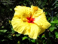 115 best photography flowers plants fruit images on pinterest close up of a yellow and red hibiscus flower yellow and red hibiscus bloom yellow hibiscus with red center very large yellow flower on tree mightylinksfo