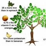 Moringa, in India known as the miracle tree, grows in Himalayas' foothills. It can grow from 10 to 15 meters in height and in good environment it can live up to 20 years. People who grow this tree cut only 5 meters of tree's branches in order to. Health And Wellness, Health Tips, Health Care, Moringa Oleifera Benefits, Acv And Honey, Miracle Tree, Good Environment, Medicinal Plants, Tree Of Life