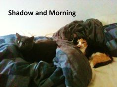 Shadow and Morning were shy kitties that have become the best of friends. Morning is a female under a year old, and Shadow is an affectionate young male. Their current foster home is leaving in May, so they'll need new digs soon. It would be great if those could be permanent digs, but a new loving foster home will do.  Meet them here www.facebook.com/cause4paws