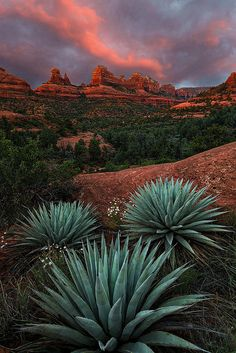 Agave on the Rocks, Mitten Ridge, Sedona, Arizona