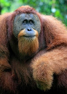 Adult male Orangutan in Gunung Leuser National Park in Indonesia Nature Animals, Animals And Pets, Baby Animals, Cute Animals, Primates, Mammals, Beautiful Creatures, Animals Beautiful, Animals Amazing