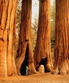 Image detail for -USA,California,Sequoia National Park,girl (6-8) beside redwood tree