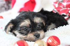 💙🎄🐾 Playful and #Adorable, #Morkie puppies are loving #Fluffballs who love to socialize with their people! #Loyal companions, they are lively, full of spunk and love to play. ▬▬▬▬▬▬▬▬▬▬▬▬▬▬▬▬▬▬▬ #Charming #PinterestPuppies #PuppiesOfPinterest #Puppy #Puppies #Pups #Pup #Funloving #Sweet #PuppyLove #Cute #Cuddly #ForTheLoveOfADog #MansBestFriend #Animals #Dog #Pet #Pets #ChildrenFriendly #PuppyandChildren #ChildandPuppy #LancasterPuppies www.Lancaste Morkie Puppies For Sale, Cute Puppies, Lancaster Puppies, Animals Dog, Dundee, Mans Best Friend, Puppy Love, Babies, Play