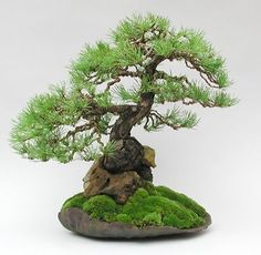 Artist: Dan Barton Scots Pine (Pinus sylvestris) Grown from seed planted through a hole in a stone in 1972. The tree expanded so much that it eventually split the rock. Planted in a Dansai pot and now in the collection of Marco Invernizzi, Italy.