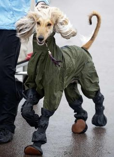Crufts ..Wet weather wear was still the order of the day as the dogs arrived for day two of Crufts 2014 at the Birmingham NECPicture: onEdition
