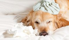 Canine influenza, or dog flu, is an extremely contagious infection that is caused by an influenza A virus. The strains have been dubbed H3N8 and H3N2. H3N8 actually began as an eguine influenza strain, but was passed to a canine and adapted to the species. It is now dog-specific virus.