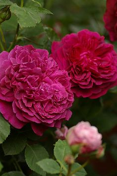"'William Shakespeare 2000'  - ""This rose has the strong, warm Old Rose fragrance that we expect, but do not always find, in deep red roses."""