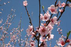 sagra del mandorlo in fiore 2012 agrigento.JPG (800×533)