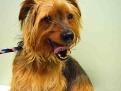 Manhattan Center  LANGSTON - A1020114  NEUTERED MALE, BROWN, YORKSHIRE TERR MIX, 7 yrs OWNER SUR - EVALUATE, HOLD RELEASED Reason NO TIME  Intake condition EXAM REQ Intake Date 11/09/2014, From NY 10029, DueOut Date 11/12/2014,  Medical Behavior Evaluation GREEN  Medical Summary SCAN POS#985121005123701 BRIGHT, ALERT, RESPONSIVE, HYDRATED PHYSICAL EXAM- mod tartar neutered NOSF  Weight 12.0  For more information on adopting from the NYC AC&C, or to find a rescue to assist, please read the…